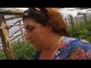 Выращивание помидоров в теплице Китайские овощи
