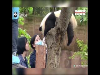 Нападение панды на человека