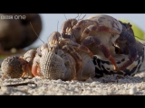 Hermit crab housing chain - Life Story_ Episode 3 preview - BBC One