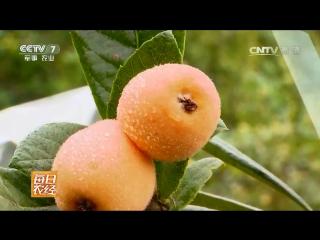 Мушмула японская (часть 01), или Локва (Локват) ''Пипа'', можно и ''Пипа Го'' (Плод Мушмула), или ''Лу Цзюй'' (Мандарин Лу) и, у