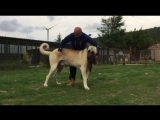 Огромный кангал (Fighting dogs) Kangal
