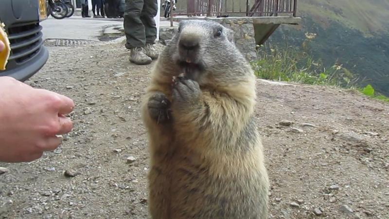 Das Alpenmurmeltier (Marmota marmota) » Freewka.com - Смотреть онлайн в хорощем качестве