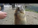 Das Alpenmurmeltier (Marmota marmota)