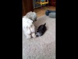 Бентли и кошка Маруся