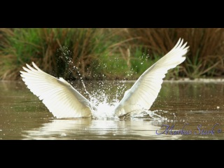 Great egret / Большая белая цапля / Ardea alba / Casmerodius albus