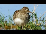 Pectoral sandpiper Дутыш Calidris melanotos