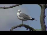 Common gull / Сизая чайка / Larus canus