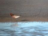 Curlew sandpiper Краснозобик Calidris ferruginea