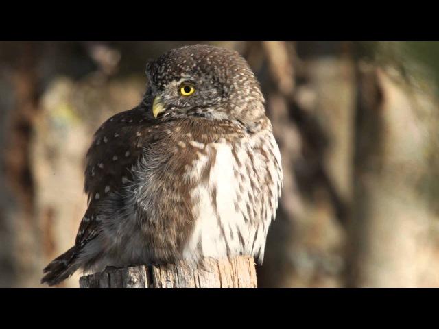 An Eurasian Pygmy Owl Lurking for Prey