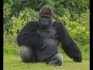 Приматы и Гориллы. Жизнь в джунглях. Мир дикой природы