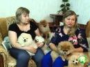 Померанский шпиц: собачка, покоряющая сердца