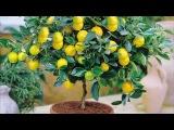 Как правильно поливать лимонное дерево в домашних условиях