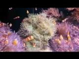 Відео для любителів морських акваріумів !!! Риба клоун!! :)