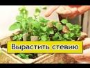 Стевия видео о выращивании медовой травы