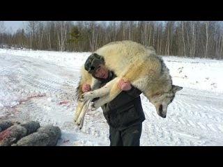 Охота на волка! Опасный промысел. Добыча волков в глуши тайги!