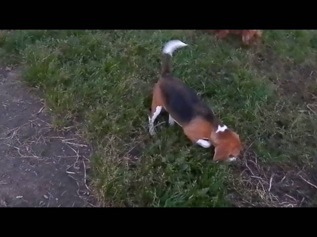 Бигль Ясмин и ее хвост. Натали Теодорус. Beagle Yasmin and her tail. Natali Teodorus