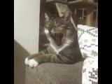 Зевающие кошки  Yawning cats