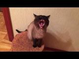 Сat yawns - Кот зевает -