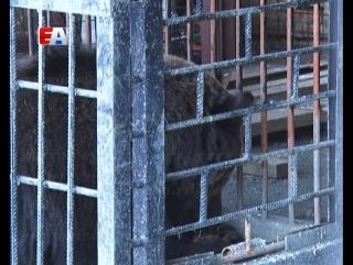 В первоуральском зоопарке - большое событие. Медведь Балу впервые впал в спячку.
