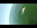 Гигантский окунь проглотил акулу