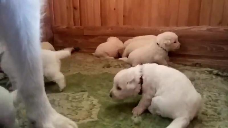 Щенки маремма-абруццкой овчарки