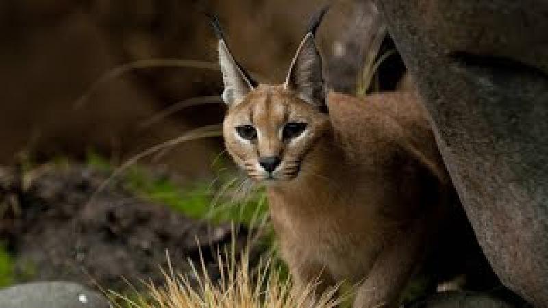 Скорость жизни. Красота и жестокость природы. Молниеносные атаки хищников. Discovery...