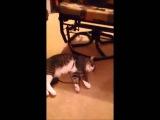 Кот-притворщик, не желающий идти гулять, покорил Youtube