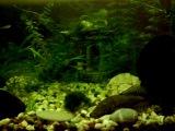 Рыбки присоски наводят чистоту в аквариуме)
