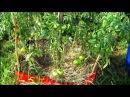 3 варианта выращивания помидор - высокие грядки - не полоть.-tomato