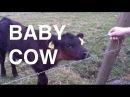 Baby Cow (Viper Higgins)