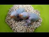 Александрийский попугай птенцы выкормыши 13 и 15 дней