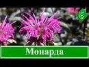 Цветок монарда – посадка и уход в открытом грунте, виды и сорта монарды
