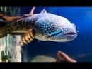 Змееголов. Channa aurantimaculata