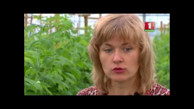 Секреты отличного урожая малины. Дача