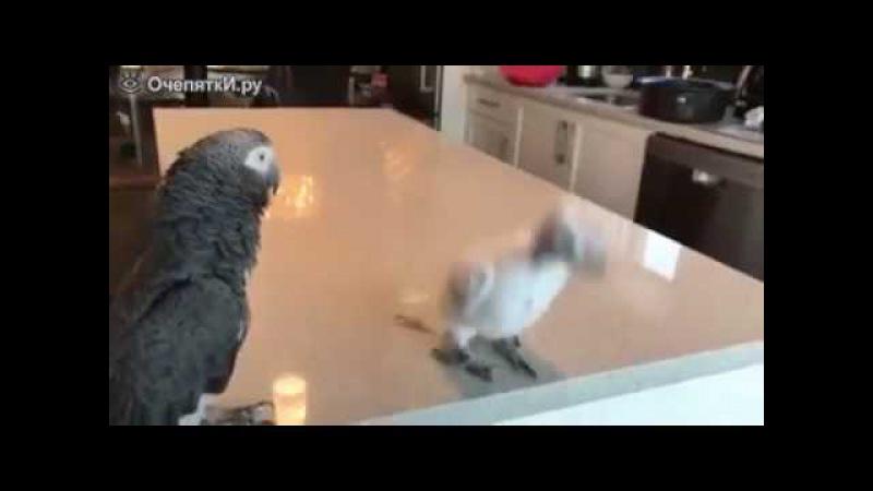 Танцы драного попугая