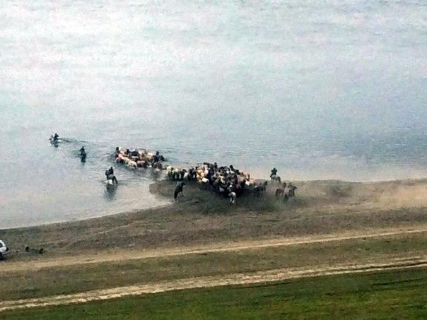 Видеофакт: В Якутии лошади переплывают одну из самых полноводных рек мира – Лену