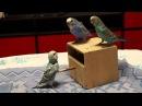 Ручные волнистые попугаи Ммммилашки