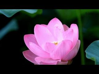Цветение лотосов, Лагань