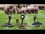Mongoose vs King cobra - Ch