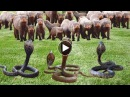 Mongoose vs King cobra - Chồn sóc thông minh giết rắn hổ mang chúa - Wild animals attack