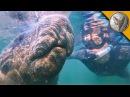 Плаваем с гигантскими Ламантинами.Дружелюбные водные млекопитающие.Brave Wilderness на русском