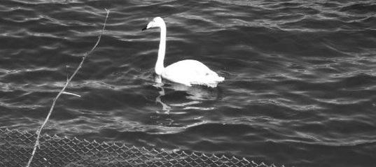 Белый лебедь облюбовал местный водоём