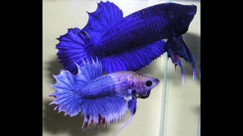 Рыба Петушок. Бойцовая рыба или сиамский петушок. Уход, содержание и размножение. (1)