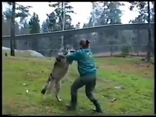 Сотрудница зоопарка поставила зарвавшегося волка на место
