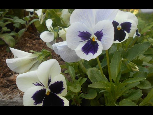 Анютины глазки Выращивание и уход Обильное цветение в год посадки