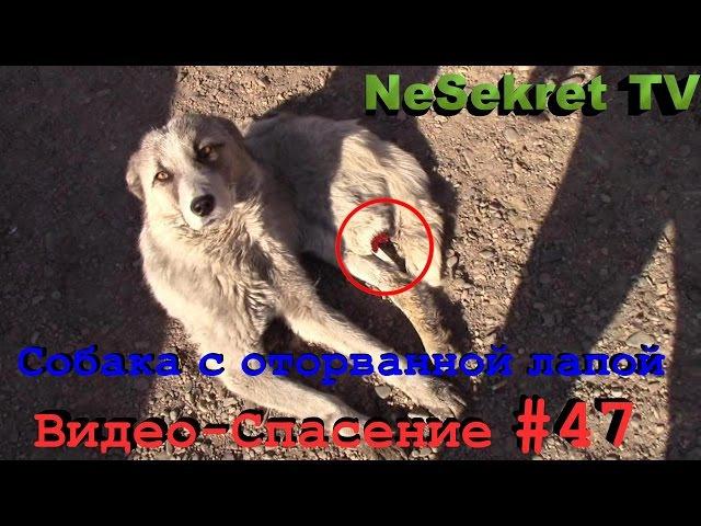 Собака с оторванной лапой. Слабонервным не смотреть! Спасение 47. Город Улан-Удэ. 18
