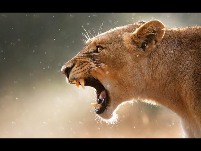 Дикие животные Африки Львы Леди Леува Последняя львица Документальный фильм Nati...