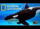 Документальный фильм - Косатка - Кит убийца - Суперхищник - National Geographic