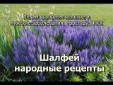 Шалфей народные рецепты.  Лечим шалфеем женские и мужские заболевания, простуду,...