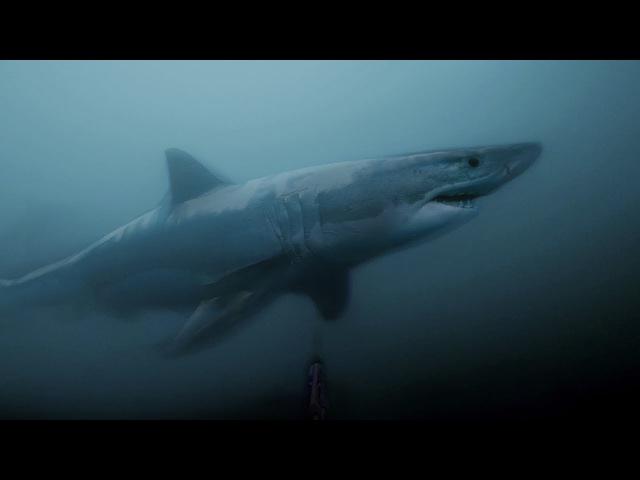 Great white shark encounter